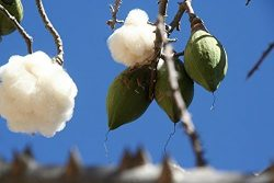 Lulan Exotic RARE SILK COTTON TREE5 seeds