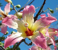 Lulan Chorisia speciosa exotic flowering tree silk floss bottle kapok seed 10 seeds