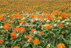 Carthamus tinctorius Safflower 200 Seeds Annual Flower Seed wildflower Bright orange-yellow drou ...